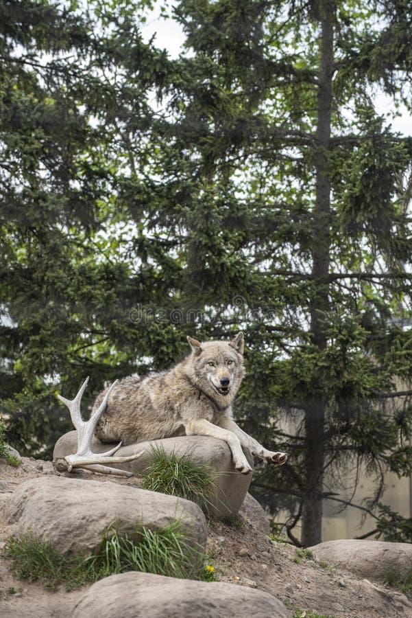 Συνεδρίαση λύκων ειρηνικά στο βράχο σε μια ξύλινη ατμόσφαιρα κατά τη διάρκεια ενός θερινού χρόνου στοκ φωτογραφία με δικαίωμα ελεύθερης χρήσης