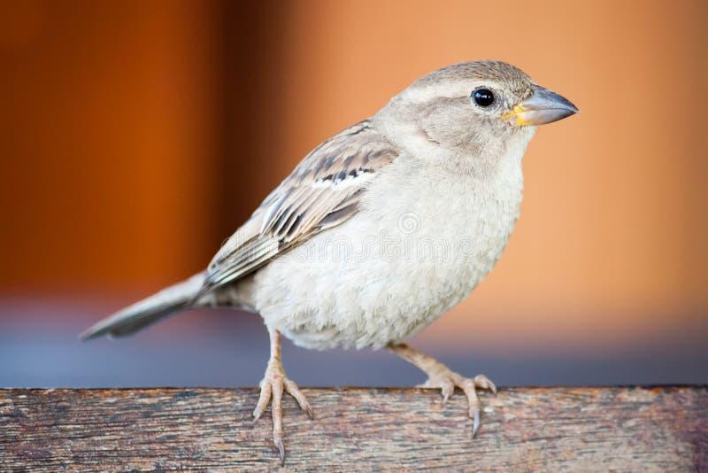 Συνεδρίαση οικογενειακού Passeridae πουλιών σπουργιτιών και τραγούδι στην ξύλινη φωτογραφία πινάκων κοντά επάνω με το πορτοκαλί υ στοκ φωτογραφία με δικαίωμα ελεύθερης χρήσης