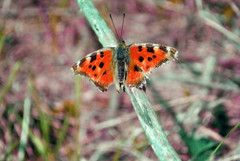 Συνεδρίαση πεταλούδων Aglais στον κλαδίσκο, μαλακό μουτζουρωμένο γκρίζο υπόβαθρο στοκ φωτογραφίες με δικαίωμα ελεύθερης χρήσης