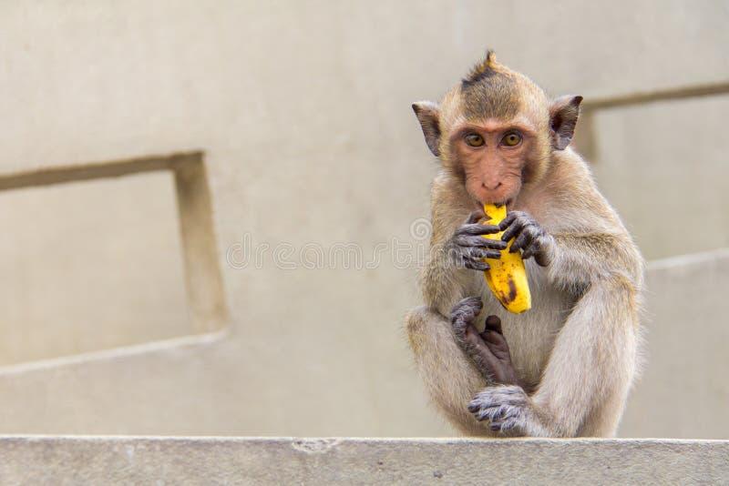 Συνεδρίαση πιθήκων μωρών και κατανάλωση της μπανάνας στο συγκεκριμένο τσιμέντο στοκ εικόνα