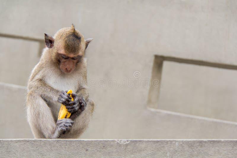Συνεδρίαση πιθήκων μωρών και κατανάλωση της μπανάνας στοκ φωτογραφίες με δικαίωμα ελεύθερης χρήσης