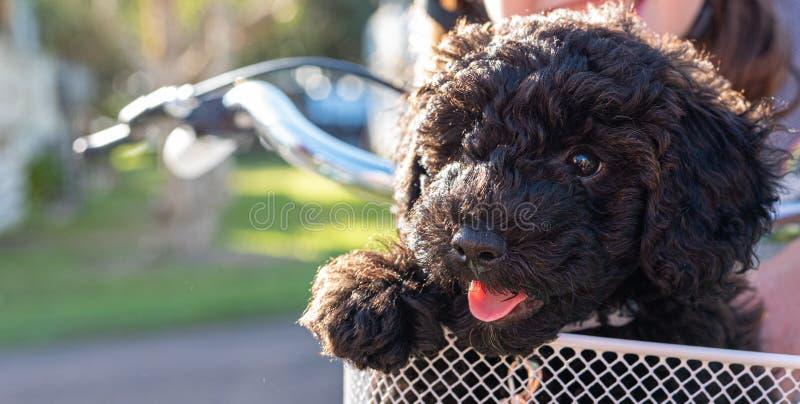 Συνεδρίαση σκυλιών κουταβιών Schnoodle σε ένα καλάθι ποδηλάτων που φαίνεται χαριτωμένο στοκ φωτογραφία