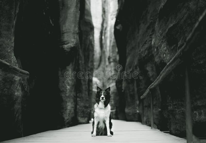 Συνεδρίαση σκυλιών στην ξύλινη διάβαση πεζών μεταξύ των υψηλών βράχων Γραπτό κόλλεϊ συνόρων στους απότομους βράχους ψαμμιτών στοκ φωτογραφίες με δικαίωμα ελεύθερης χρήσης