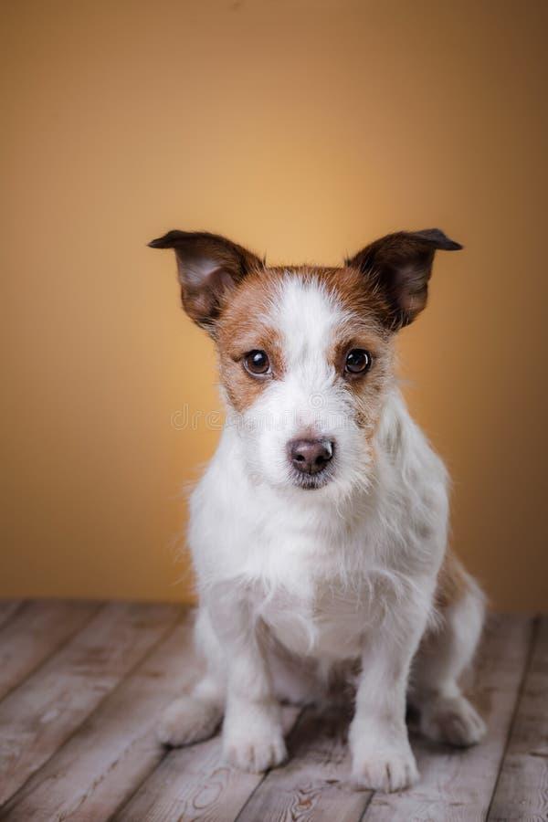 Συνεδρίαση σκυλιών στο πάτωμα Χαριτωμένο τεριέ του Jack Russell στοκ εικόνα με δικαίωμα ελεύθερης χρήσης