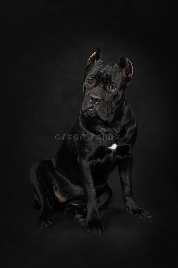 Συνεδρίαση σκυλιών Corso καλάμων σε ένα μαύρο υπόβαθρο στοκ εικόνες με δικαίωμα ελεύθερης χρήσης