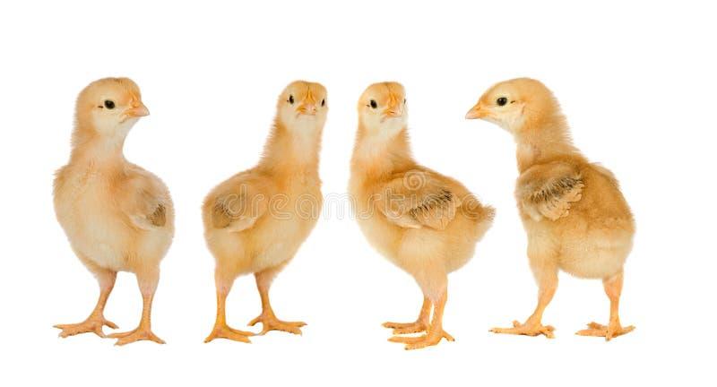 Συνεδρίαση των κίτρινων κοτόπουλων στοκ εικόνα με δικαίωμα ελεύθερης χρήσης