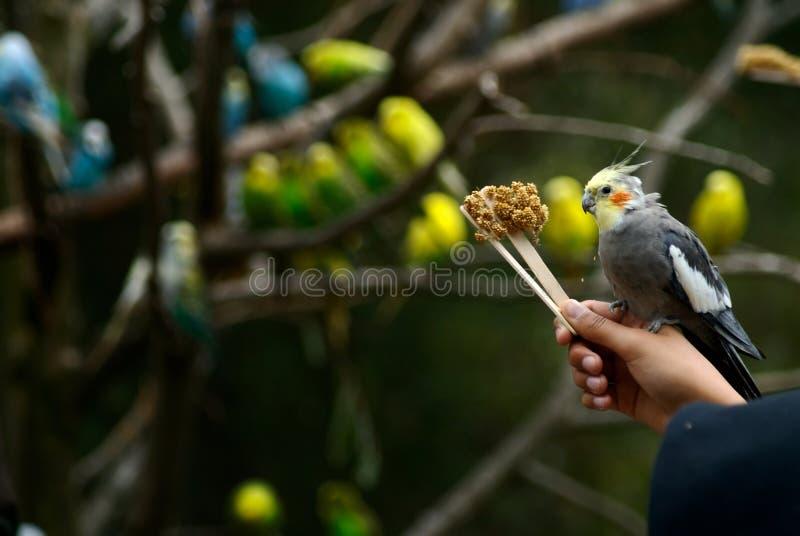 συνεδρίαση χεριών πουλιών cockatiel στοκ εικόνες
