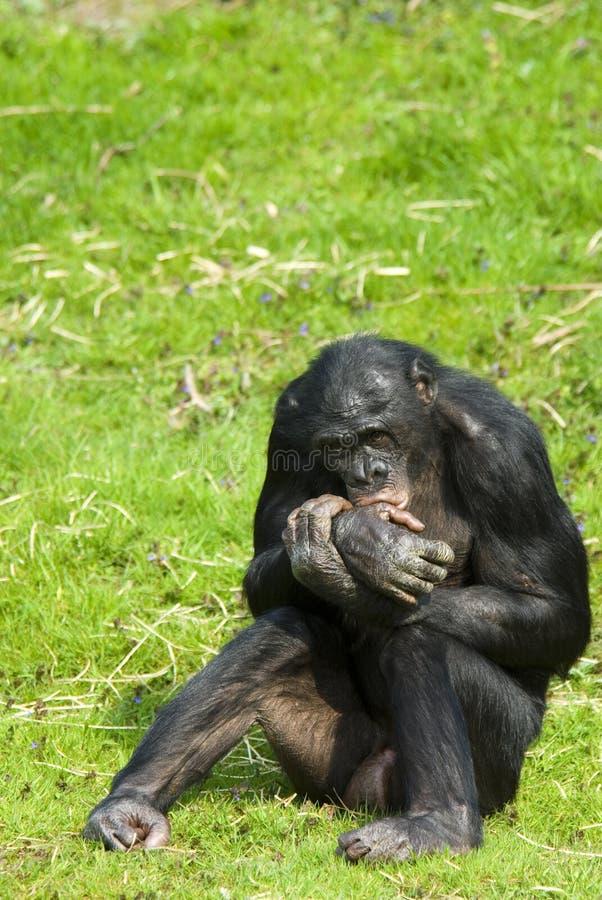 συνεδρίαση bonobo στοκ εικόνες