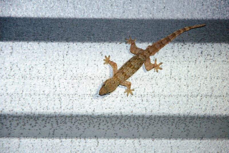 Συνεδρίαση Gecko σε μια στέγη κασσίτερου στοκ εικόνες με δικαίωμα ελεύθερης χρήσης
