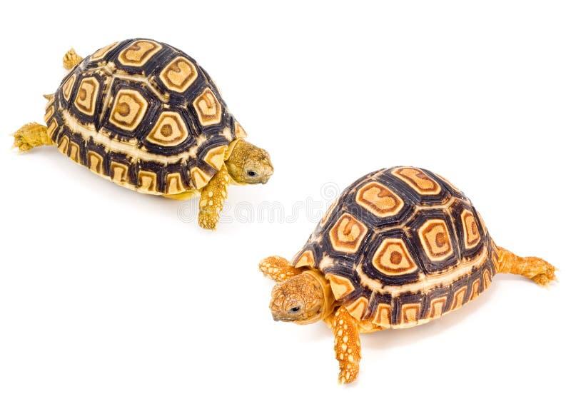 συνεδρίαση tortoises στοκ εικόνα με δικαίωμα ελεύθερης χρήσης