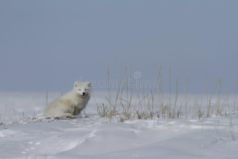 Συνεδρίαση Vulpes Lagopus αρκτικών αλεπούδων δίπλα στη χλόη, με το χιόνι στο έδαφος, κοντά σε Arviat Nunavut στοκ φωτογραφία