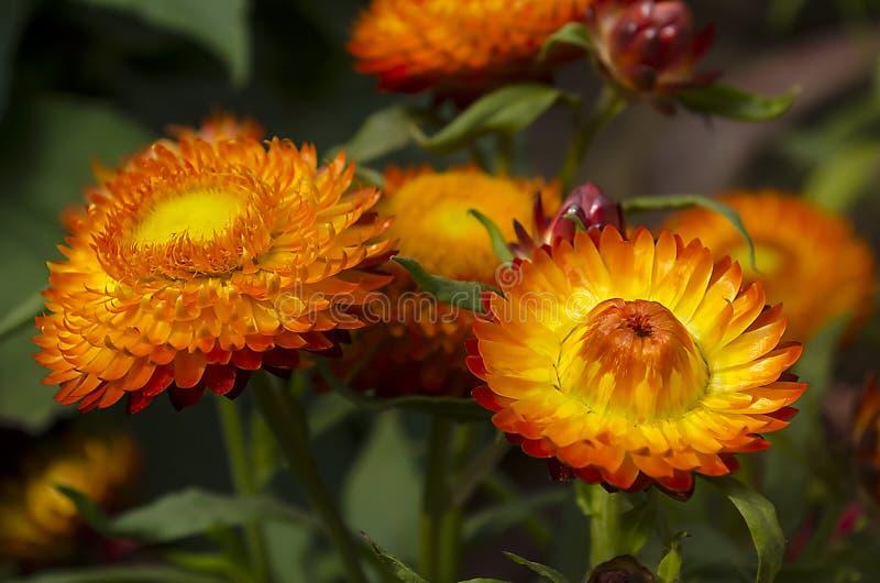 Συνεχής ή strawflowers στοκ φωτογραφίες με δικαίωμα ελεύθερης χρήσης