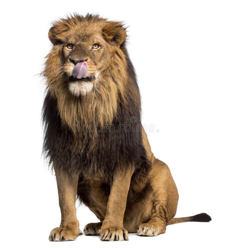 Συνεδρίαση λιονταριών, γλείψιμο, Panthera Leo, 10 χρονών στοκ φωτογραφίες με δικαίωμα ελεύθερης χρήσης