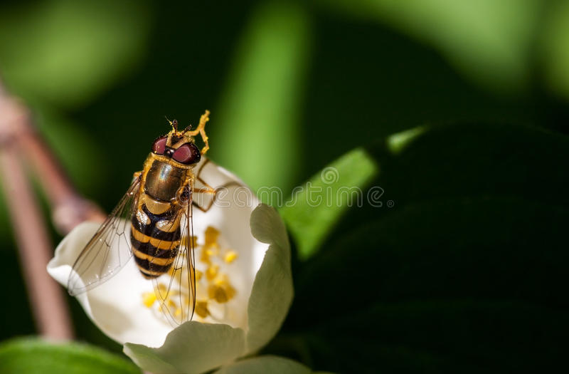 Συνεδρίαση μελισσών σε ένα άσπρο λουλούδι στοκ εικόνα