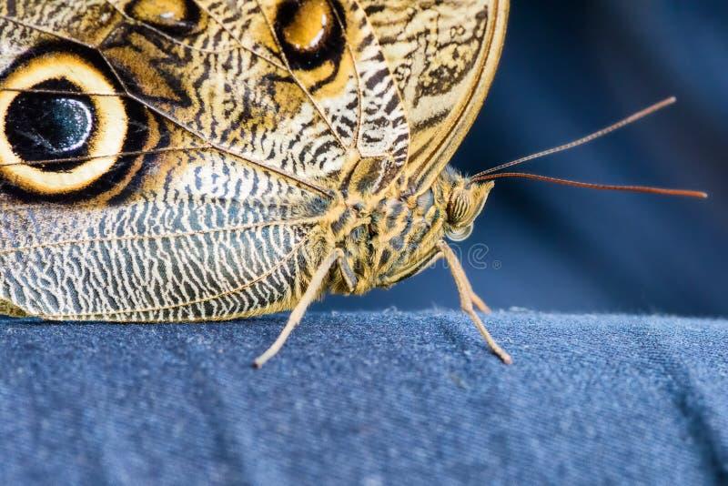 Συνεδρίαση πεταλούδων κουκουβαγιών (eurilochus Caligo, Bananenfalter) τζιν παντελόνι στοκ εικόνες