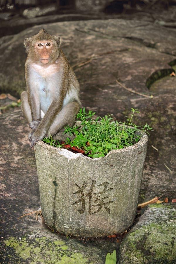 Συνεδρίαση πιθήκων στο δοχείο κήπων με την πράσινη χλόη και κινεζικό hieroglyph για τον πίθηκο στοκ φωτογραφία