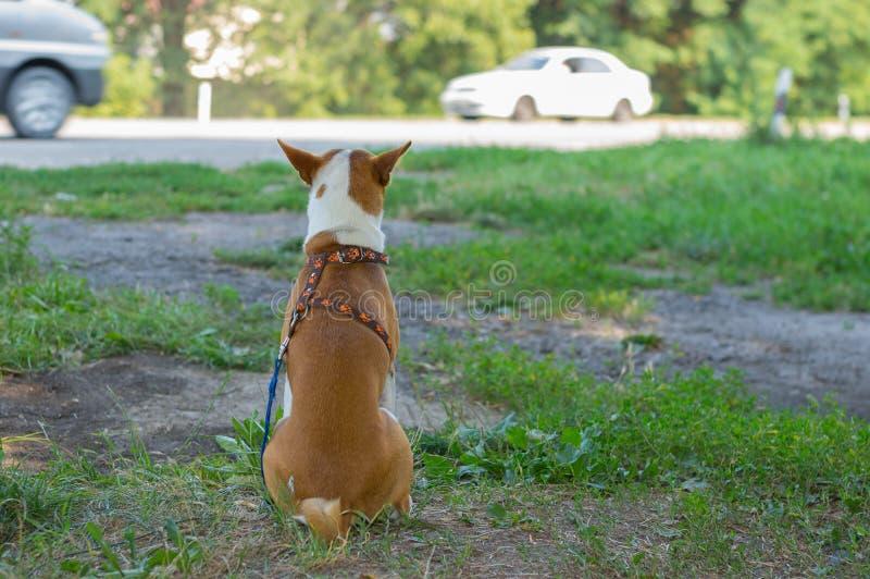 Συνεδρίαση σκυλιών σε μια άκρη του δρόμου και κοίταγμα στην οδήγηση αυτοκινήτων κοντά στοκ φωτογραφίες με δικαίωμα ελεύθερης χρήσης