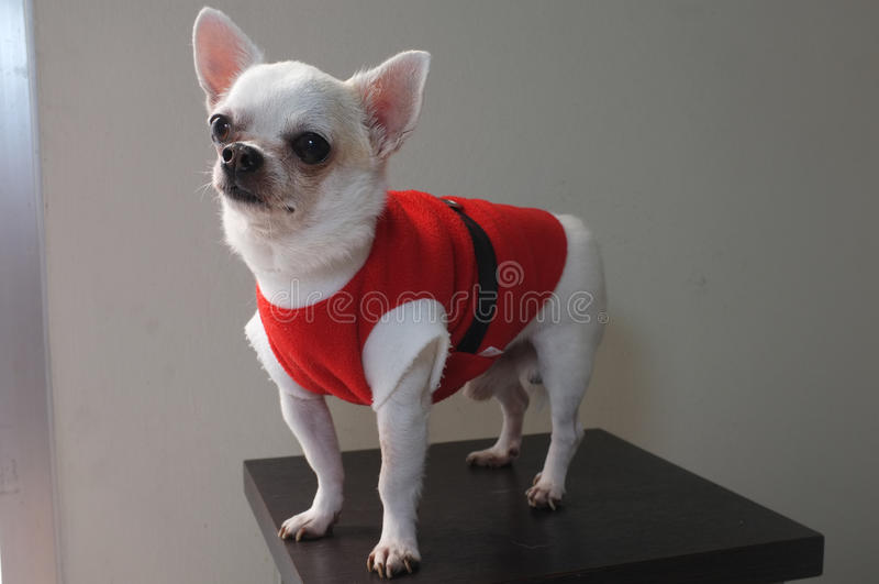 Συνεδρίαση Chihuahua στο κόκκινο πουκάμισο στοκ φωτογραφία
