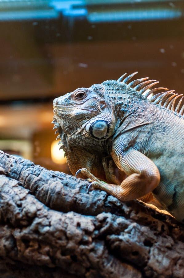 Συνεδρίαση Iguana σε έναν κλάδο στο terrarium στοκ φωτογραφία