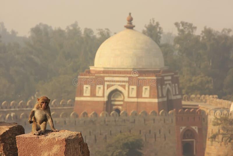 Συνεδρίαση Macaque του ρήσου μακάκου στο οχυρό Tughlaqabad, Νέο Δελχί στοκ εικόνες