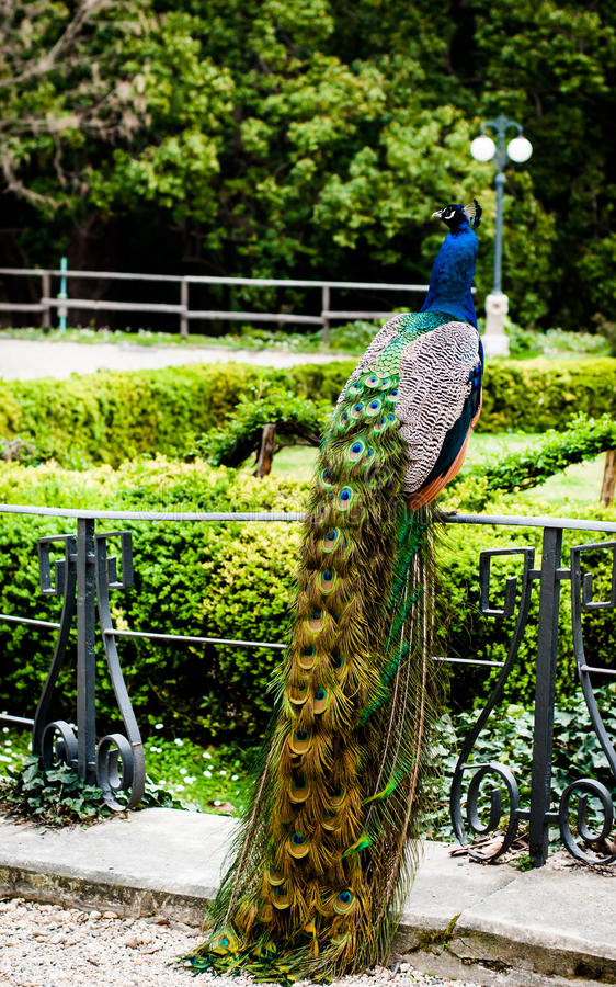 Συνεδρίαση Peacock σε ένα κιγκλίδωμα στο πάρκο του arenzano Γένοβα Ιταλία στοκ φωτογραφίες με δικαίωμα ελεύθερης χρήσης