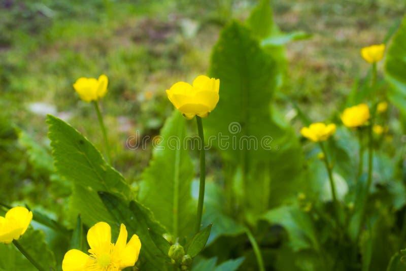 Συνηθισμένο λουλούδι στοκ φωτογραφία