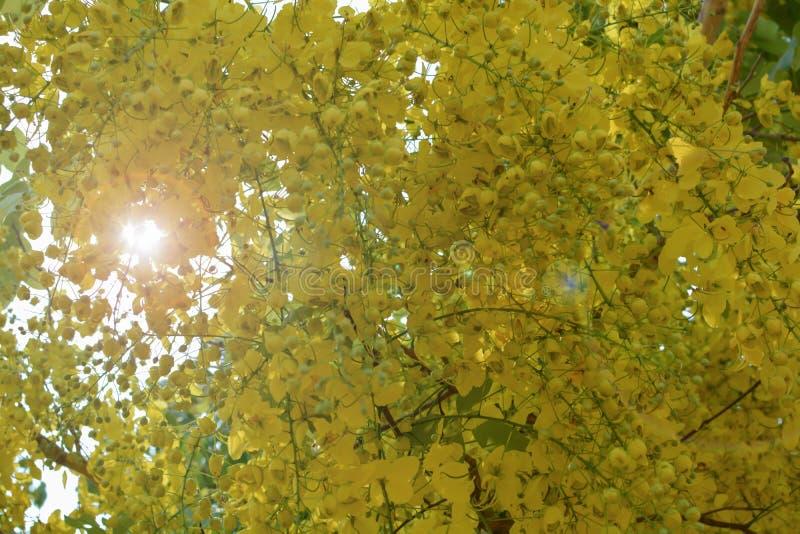 Συρίγγιο της Cassia στην κίτρινη άνθιση το καλοκαίρι στοκ εικόνα