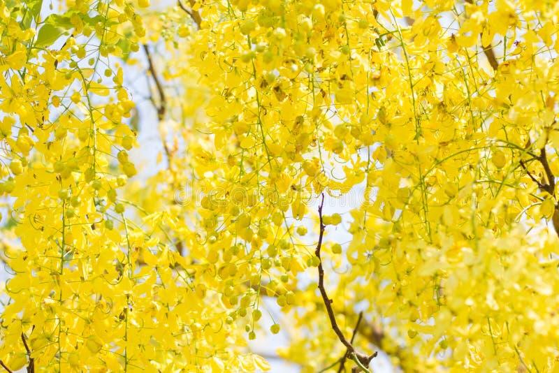 Συρίγγιο DeerCassia, κίτρινο λουλούδι στοκ εικόνα