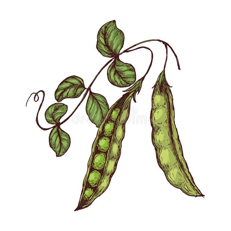 Συρμένα τα χέρι μπιζέλια σκίτσων με βγάζουν φύλλα Αγροτικά φρέσκα veggies Οργανική τροφή ελεύθερη απεικόνιση δικαιώματος