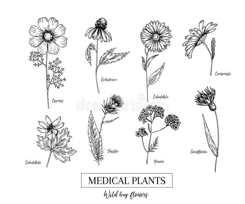 Συρμένα χέρι άγρια λουλούδια σανού Ιατρικές χορτάρια και εγκαταστάσεις Calendula, Chamomile, Cornflower, Celandine, κόσμος, Yarro διανυσματική απεικόνιση