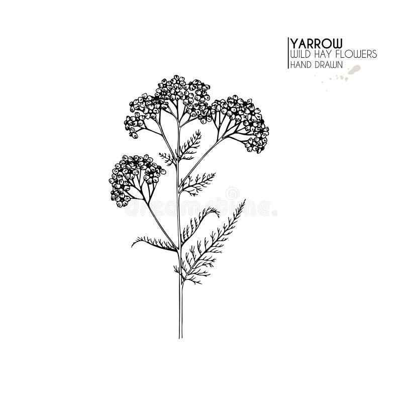 Συρμένα χέρι άγρια λουλούδια σανού Yarrow milfoil Ιατρικό χορτάρι Χαραγμένη τρύγος τέχνη Βοτανική απεικόνιση Αγαθό για διανυσματική απεικόνιση
