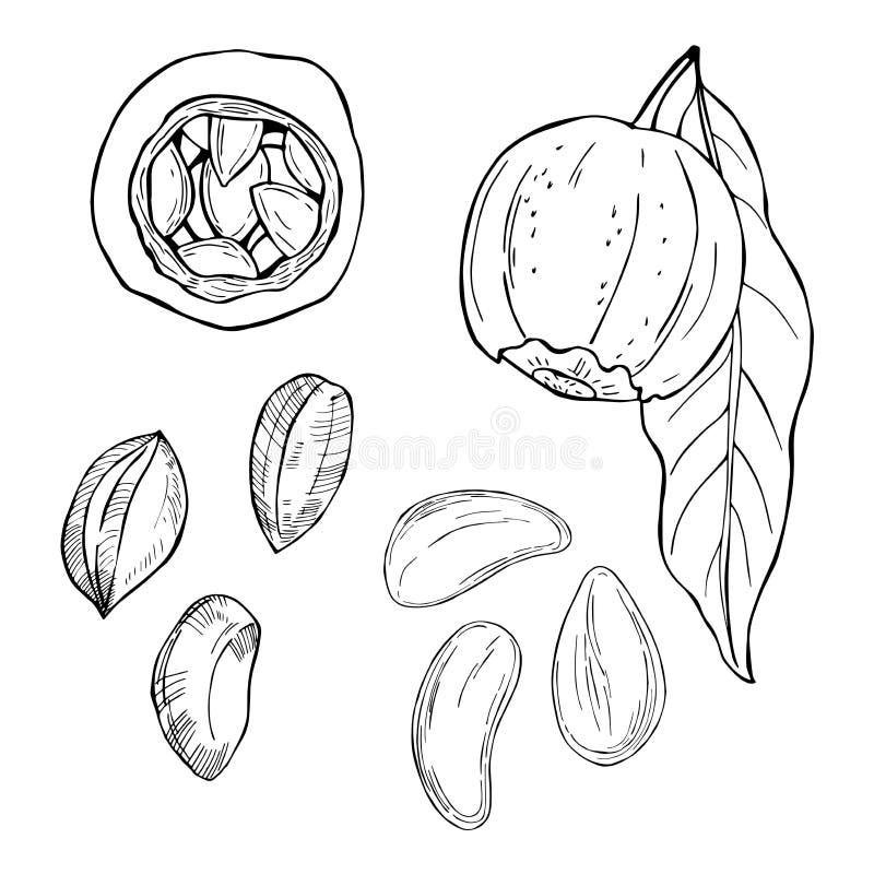 Συρμένα χέρι καρύδια βραζιλιάνο καρύδι απεικόνιση αποθεμάτων