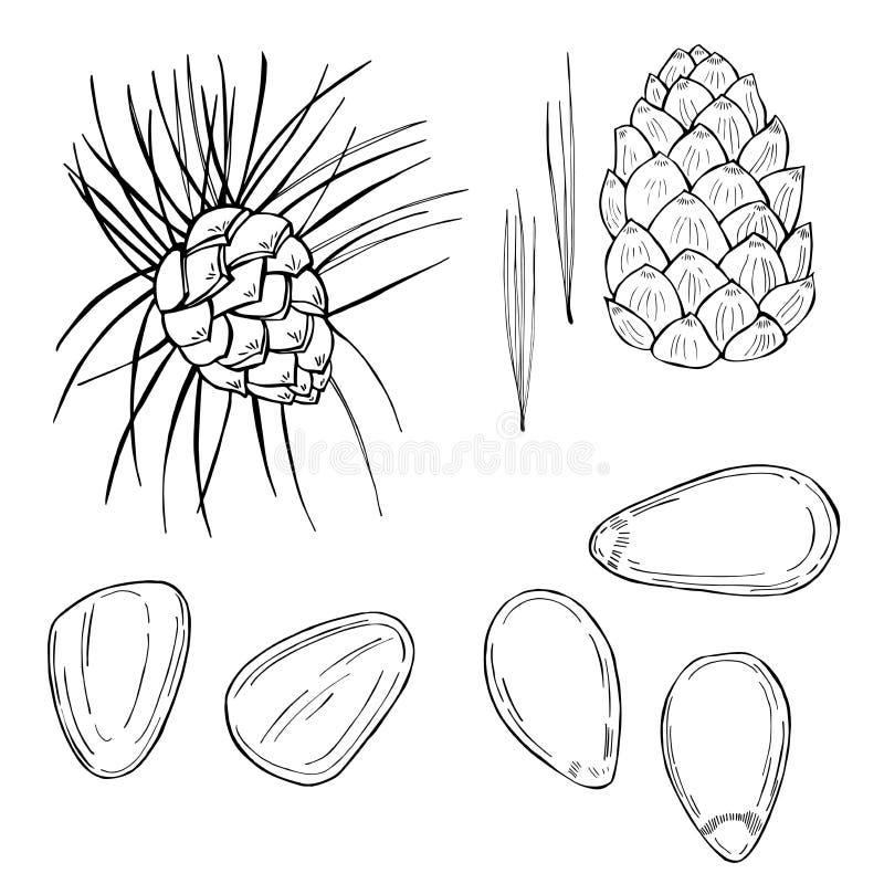 Συρμένα χέρι καρύδια Καρύδι πεύκων Διανυσματική απεικόνιση σκίτσων απεικόνιση αποθεμάτων