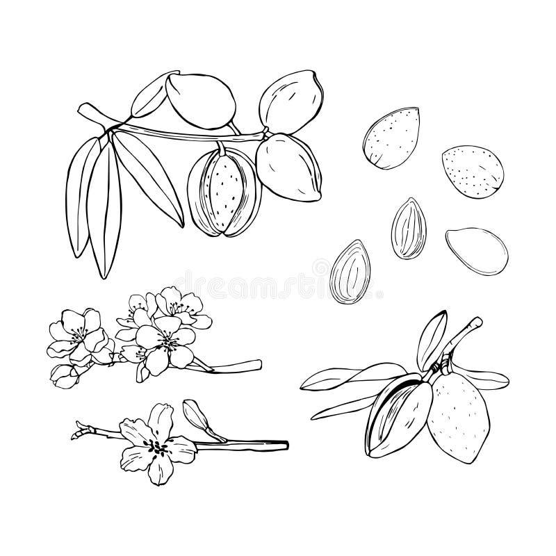 Συρμένα χέρι καρύδια alluvium Διανυσματική απεικόνιση σκίτσων απεικόνιση αποθεμάτων