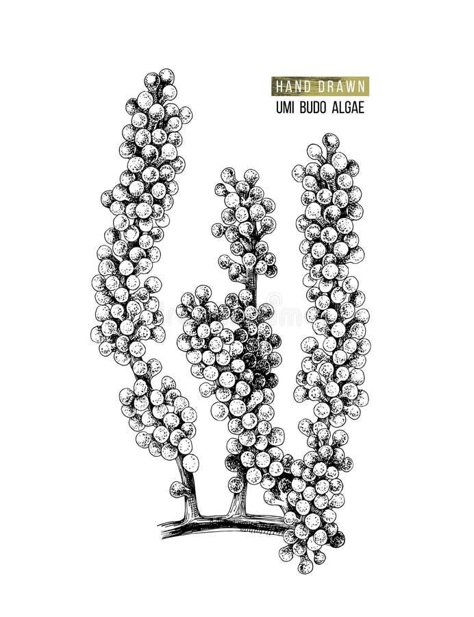 Συρμένα χέρι σταφύλια θάλασσας ή άλγη Umi Budo διανυσματική απεικόνιση
