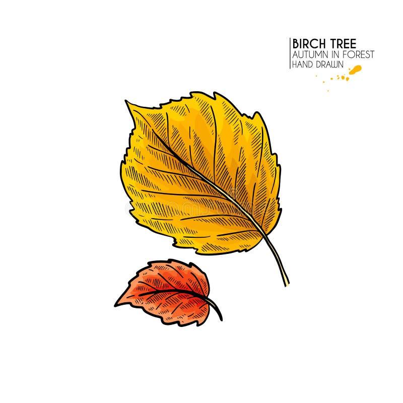 Συρμένα χέρι φύλλα φθινοπώρου Το διάνυσμα απομόνωσε το ζωηρόχρωμο εικονίδιο του φύλλου δέντρων σημύδων Δασικό folliage πτώσης Επο απεικόνιση αποθεμάτων