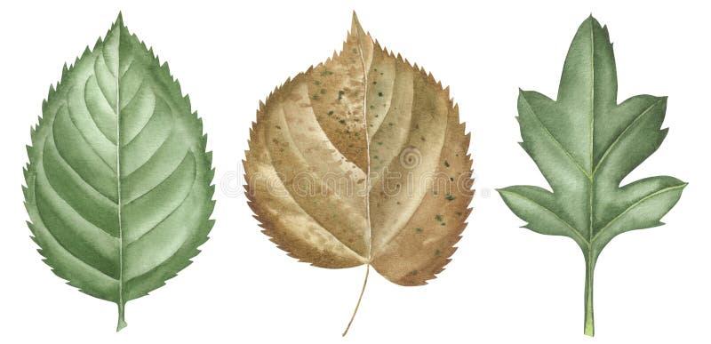 Συρμένα χέρι φύλλα watercolor καθορισμένα απομονωμένα στο λευκό Καθορισμένα στοιχεία εγκαταστάσεων Πράσινος ιαπωνικό watercolor ύ στοκ εικόνες με δικαίωμα ελεύθερης χρήσης