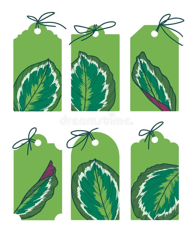Συρμένες πράσινες διανυσματικές ετικέτες με τις εξωτικές απεικονίσεις φύλλων Calathea Medaillon ελεύθερη απεικόνιση δικαιώματος