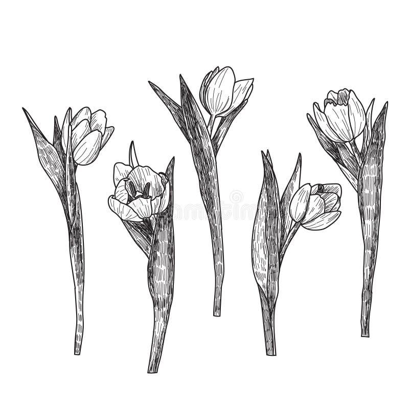 Συρμένες χέρι τουλίπες που απομονώνονται διακοσμητικές στο λευκό συρμένος εικονογράφος απεικόνισης χεριών ξυλάνθρακα βουρτσών ο σ απεικόνιση αποθεμάτων