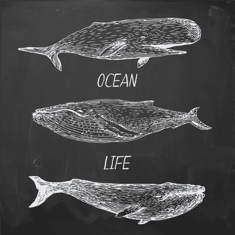 Συρμένες χέρι φάλαινες διανυσματική απεικόνιση