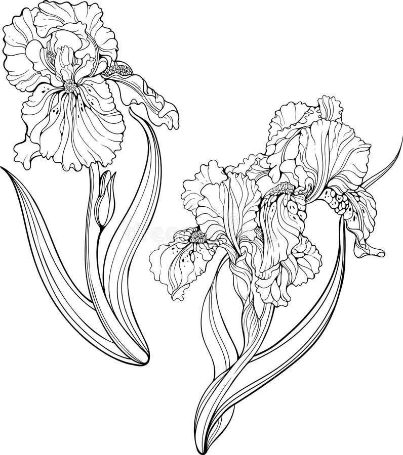 συρμένη ίριδα απεικόνισης χεριών λουλουδιών Χρωματίζοντας σελίδα διανυσματική απεικόνιση