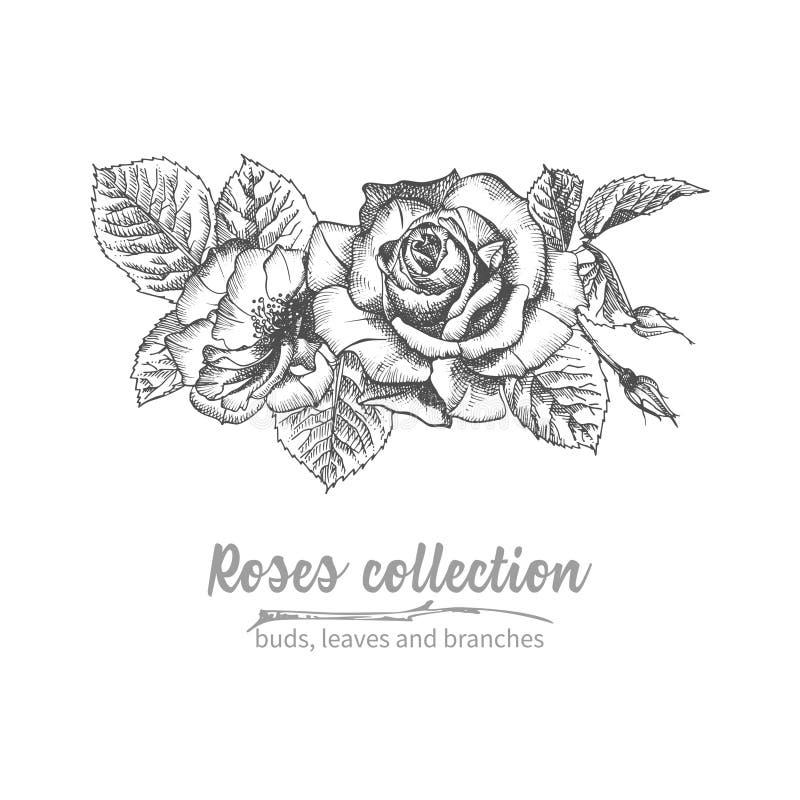 Συρμένη χέρι ανθοδέσμη σκίτσων λεπτομερούς του τριαντάφυλλα εκλεκτής ποιότητας βοτανικού illuatration Η Floral μαύρη σκιαγραφία σ απεικόνιση αποθεμάτων