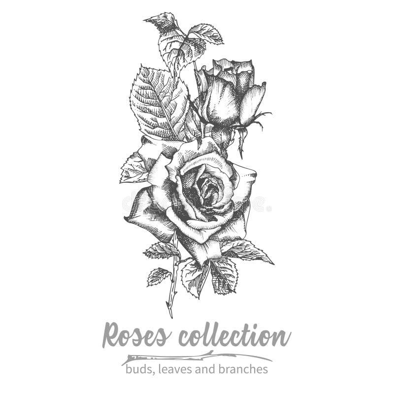 Συρμένη χέρι ανθοδέσμη σκίτσων λεπτομερούς του τριαντάφυλλα εκλεκτής ποιότητας βοτανικού illuatration Η Floral μαύρη σκιαγραφία σ ελεύθερη απεικόνιση δικαιώματος