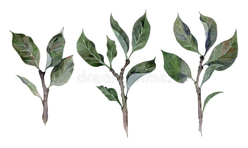 Συρμένη χέρι απεικόνιση Watercolor των κλάδων δέντρων μηλιάς απεικόνιση αποθεμάτων