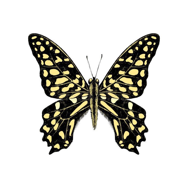 Συρμένη χέρι παρακολουθημένη πεταλούδα του Jay - Graphium agamemnon διανυσματική απεικόνιση
