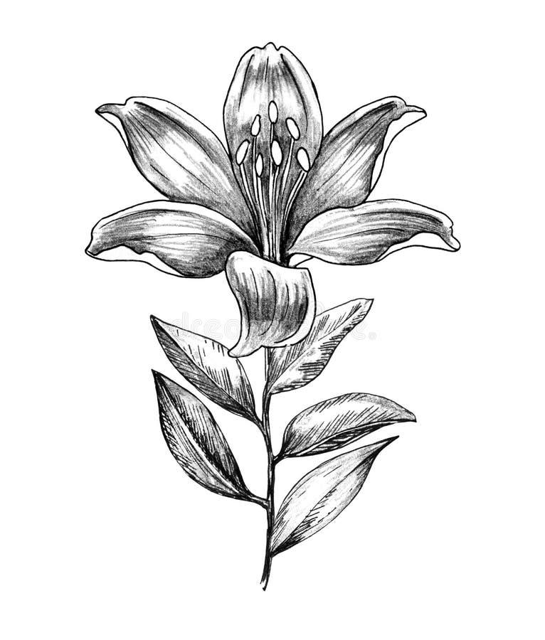 Συρμένος χέρι κλάδος λουλουδιών κρίνων ελεύθερη απεικόνιση δικαιώματος