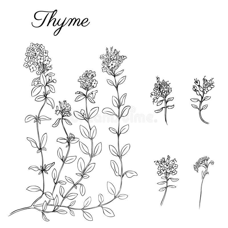 Συρμένος χέρι κλάδος θυμαριού με τα φύλλα που απομονώνονται στο λευκό Θεραπεύοντας χορτάρι Βοτανική απεικόνιση γραφικός διάνυσμα διανυσματική απεικόνιση