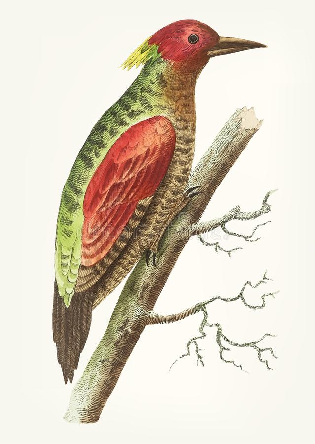 Συρμένος χέρι red-winged δρυοκολάπτης απεικόνιση αποθεμάτων