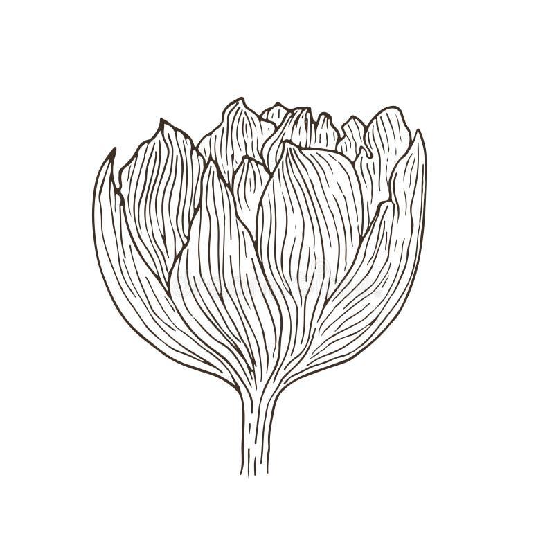 Συρμένο χέρι λουλούδι τουλιπών Floral εσωτερική τυπωμένη ύλη Σκιαγραφημένη διανυσματική απεικόνιση Τέχνη γραμμών λουλουδιών δερμα απεικόνιση αποθεμάτων