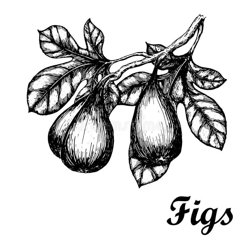 Συρμένο χέρι σκίτσο με τον κλάδο σύκων Τρόφιμα Eco ελεύθερη απεικόνιση δικαιώματος